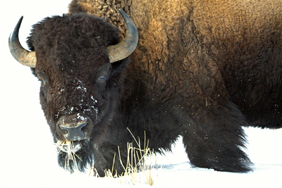 Buffalo.In_.Snow_